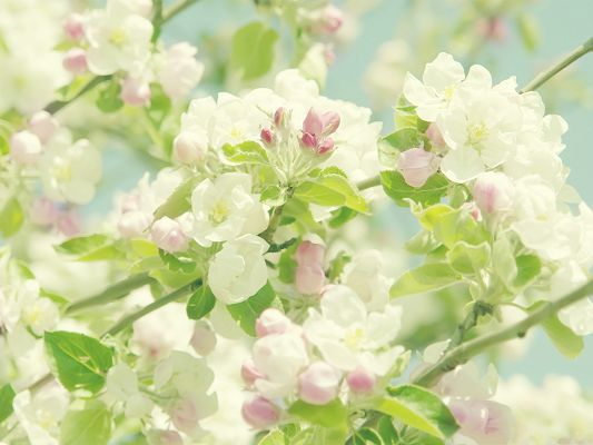 click to free download the wallpaper--Apple Flowers Image, White Flowers in Bloom, Gaining New Life in Spring
