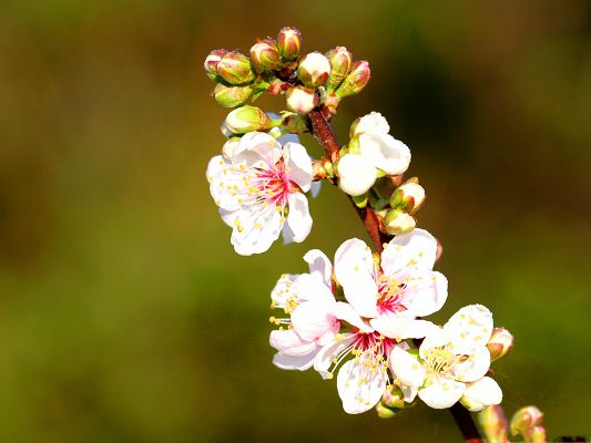 click to free download the wallpaper--Apple Flowers Twig, Tiny White Flowers in Bloom, Green Background