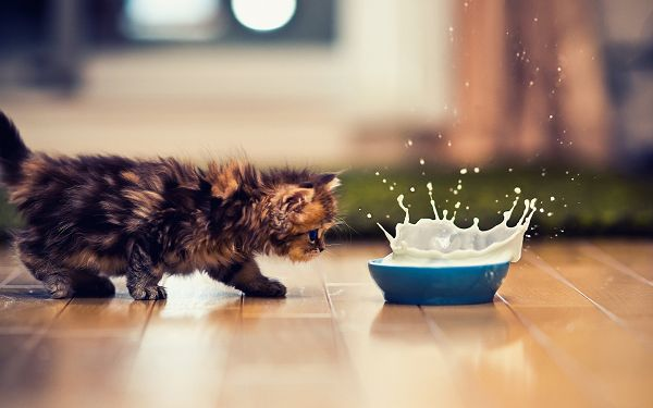 Approaching the Milk Bottle Slowly Yet Irrevocably, She Will Soon Know How It Tastes, Hope You Like It - Cute Kitty Wallpaper