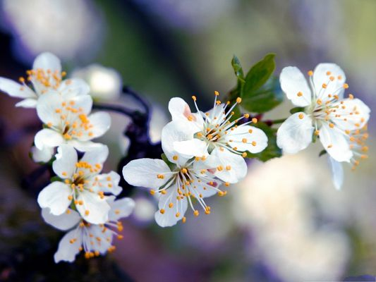 Apricot Flowers Picture, White and Blooming Flowers, Green Leaves Beneath