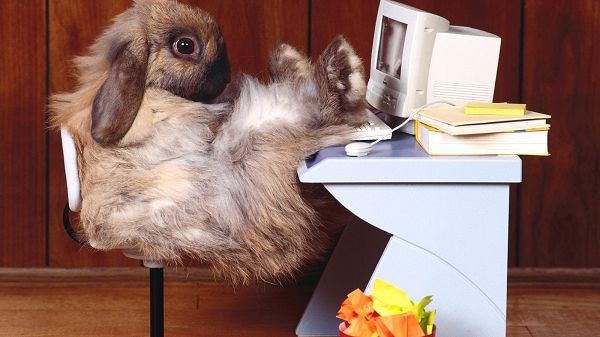 As an Office Lady, Miss Rabbit is Sitting at Leisure in Front of Computer, What a Professional Woman - HD Cute Rabbit Wallpaper
