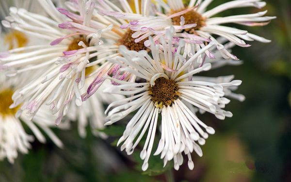click to free download the wallpaper--Aster Photos, White to Purple Flowers, Long Stretched Arms