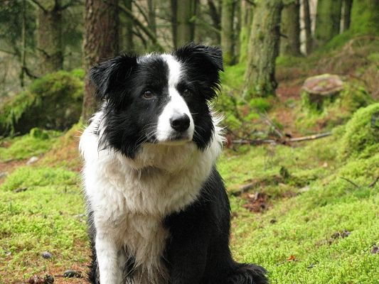 Attentive Border Collie