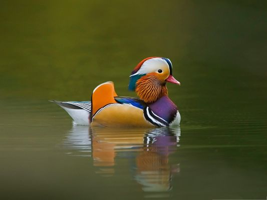 Baby Animals Cute, Mandarin Duck in Swim, Go Decent and Proud