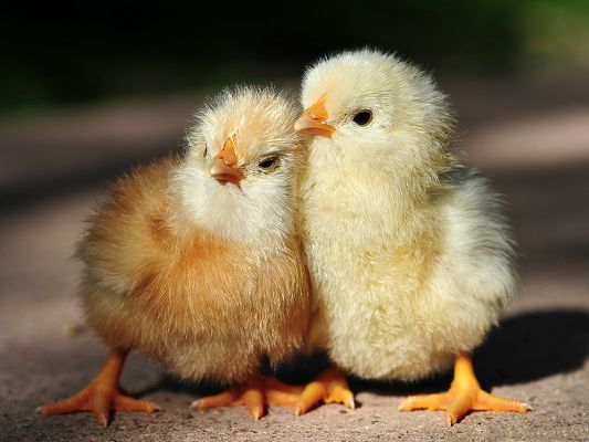 Baby Chicken Picture, Two Cute Chicken Standing Close, Eyes in One Direction