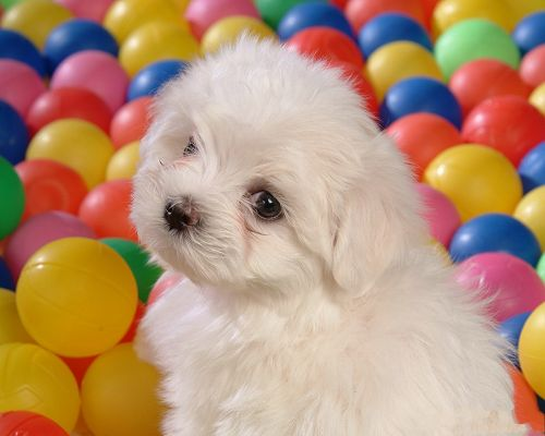 Baby Dog Wallpaper, White Puppy Among Colorful Balls, Beauty Looking Back