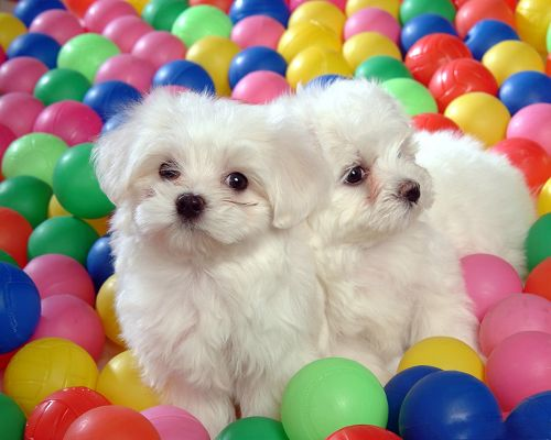 Baby Dogs Picture, Two Close White Puppies, Colorful Balls Around Them