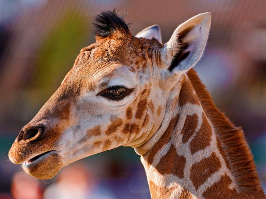 click to free download the wallpaper--Baby Giraffe Image, Face Portrait, Eating Something, Peaceful Face
