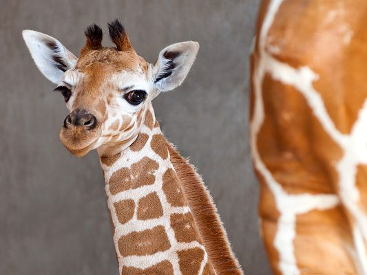 click to free download the wallpaper--Baby Giraffe Photos, Cute Baby Turning the Head Around, What a Sweetie!