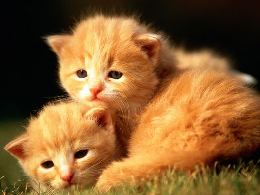 click to free download the wallpaper--Baby Kittens Outdoor, Lying on Grass, Fun Time Outdoor