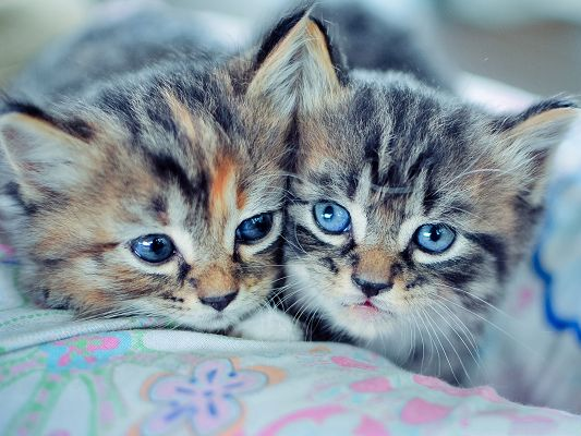 click to free download the wallpaper--Baby Kittens Picture, Lying on Bed, Aren't We Beautiful and Attractive?