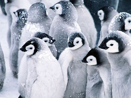 click to free download the wallpaper--Baby Penguins Image, Snow-Covered Heads, Stay Close to Each Other