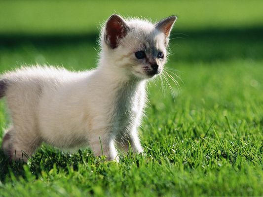 click to free download the wallpaper--Baby Siamese Cat, Cute Kitten Outdoor, Playing on Green Grass