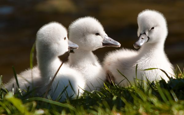 click to free download the wallpaper--Baby Swans Image, Cute and Sweet Swans, Snowy White Fur