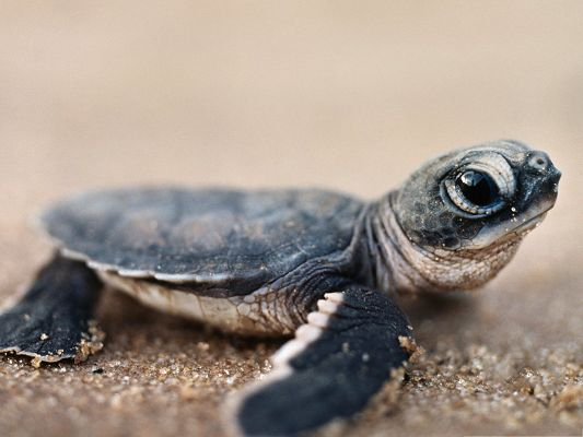 Baby Turtle Photos, Little Turtle on Beach Sand, Wide Open Eyes
