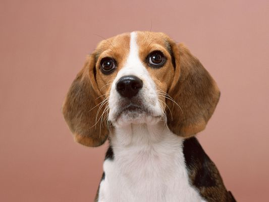 click to free download the wallpaper--Beagle Dog Picture, Wide Open Eyes, Focusing on a Bone?