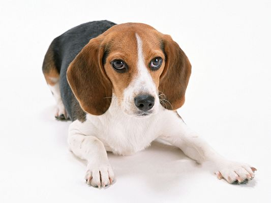 click to free download the wallpaper--Beagle Dog Pictures, Strong Legs Supporting, Can Start Out the Next Second