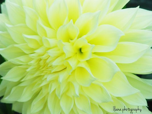 click to free download the wallpaper--Beaming Flowers Picture, Light Yellow Flower on Black Background