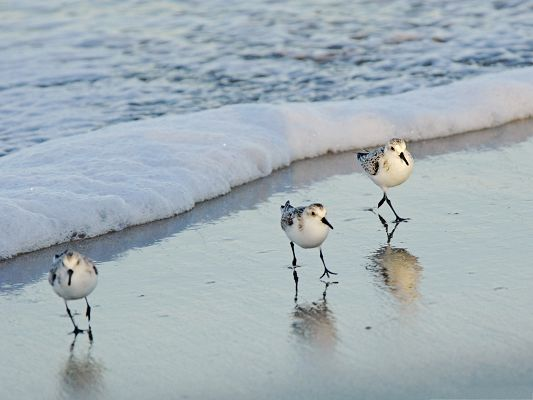 click to free download the wallpaper--Beautiful Birds Picture, Three Birds Walking on the Beach, Magnificent Scene