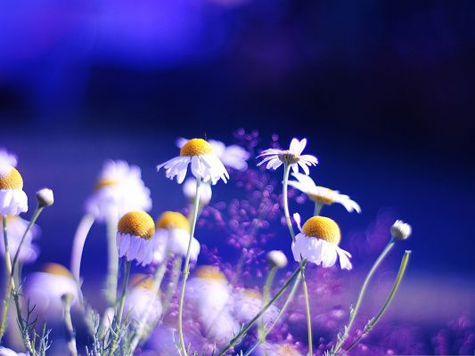 click to free download the wallpaper--Beautiful Chamomile Flowers, Small Flowers in Bloom, Under the Blue Sky