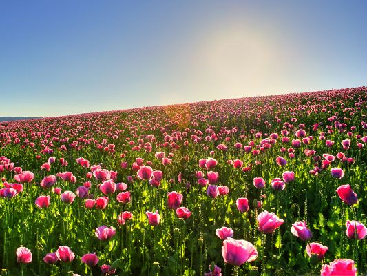 click to free download the wallpaper--Beautiful Flower Field, Pink Blooming Flowers in Prosperous Growth, Under the Blue Sky