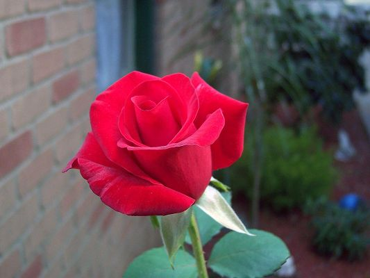 Beautiful Flower Images, a Red Rose, Enthusiastic and Impressive
