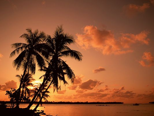 click to free download the wallpaper--Beautiful Image of Nature Landscape, Palm Trees in Sunset, the Golden Sky