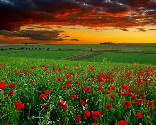 Beautiful Image of Nature Landscape, Poppy Field at Sunset, Red Flowers Among Green Grass