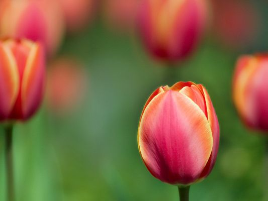 Beautiful Image of Nature Landscape, Red Tulip on Green Background, Graceful Lady, a Contrast
