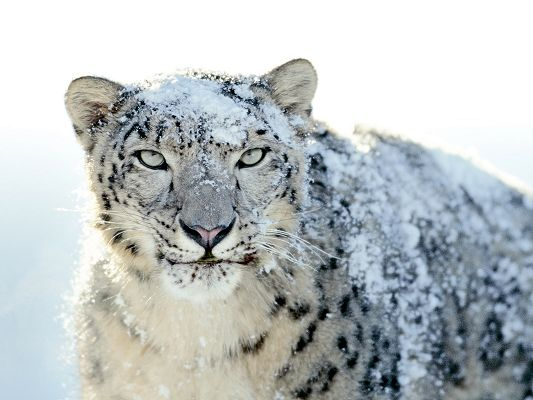 Beautiful Images of Natural Landscape, Snow Leopard Aiming at Something, Fast and Imposing