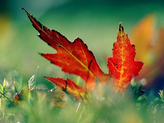 click to free download the wallpaper--Beautiful Images of Nature Landscape, a Red Leaf in the Grass, Autumn Scene