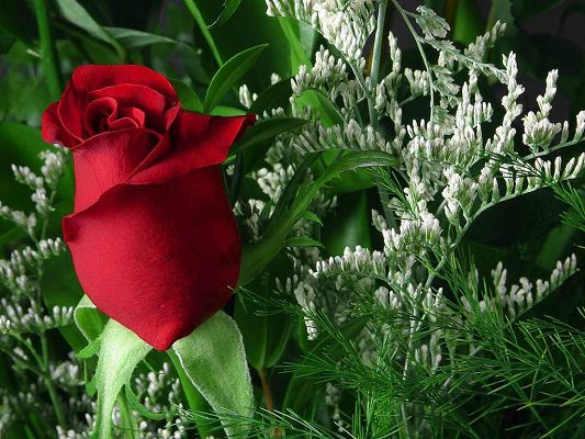 click to free download the wallpaper--Beautiful Images of Nature Landscape, a Red Rose in Bud, Green Leaves, Incredible Scene
