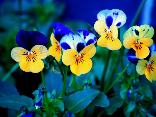click to free download the wallpaper--Beautiful Landscape with Flower, Pansies in Bloom, Colorful and Impressive, Open Mouth to Smile