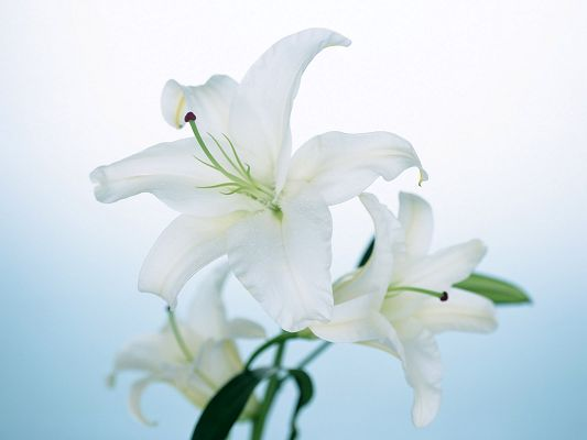 Beautiful Landscape with Flowers, Big White Lily in Bloom, White Background, Looking Great