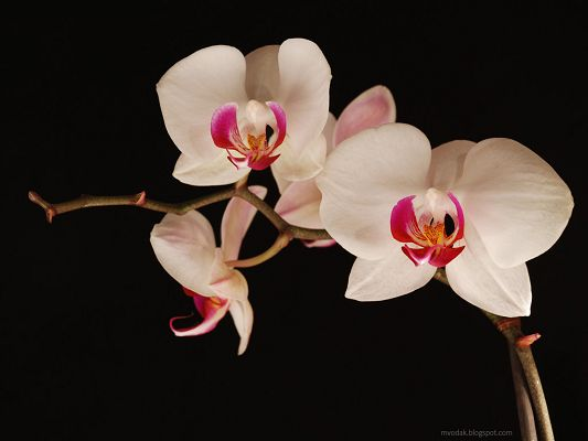 click to free download the wallpaper--Beautiful Landscape with Flowers, Pure Orchids in Bloom, Black Background