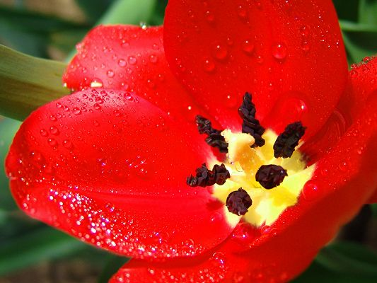 click to free download the wallpaper--Beautiful Landscape with Flowers, Red Scarlet Tulip with Waterdrops, Green Leaves