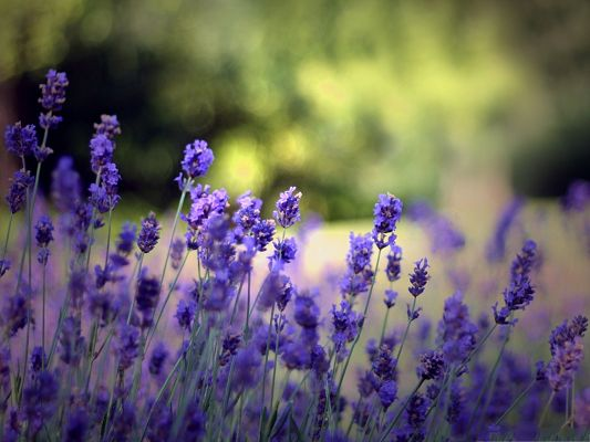 click to free download the wallpaper--Beautiful Lavender Flowers, Blue Flowers in Bloom, Put Against Green Background