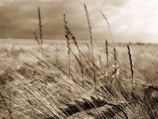 click to free download the wallpaper--Beautiful Natural Image, Wheats in Black and White Style, Getting Ripe, a Harvest