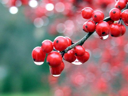 Beautiful Nature Landscape, Red Berries After the Rain, Bubble Background