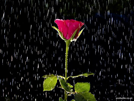 Beautiful Nature Landscape, a Red Rose in the Rain, True Love is Tough and Enduring