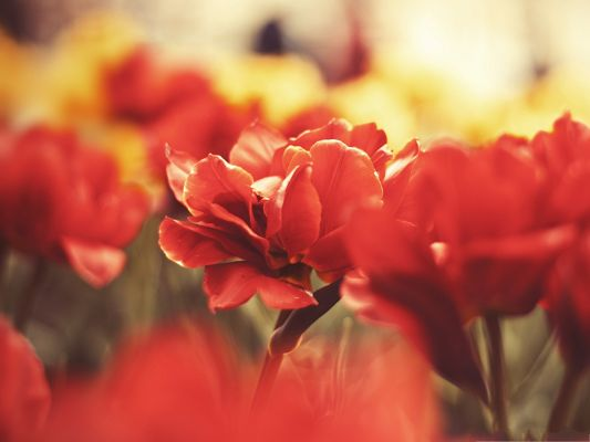 click to free download the wallpaper--Beautiful Red Flowers, Big Blooming Flowers Under Macro Focus, Amazing Scene