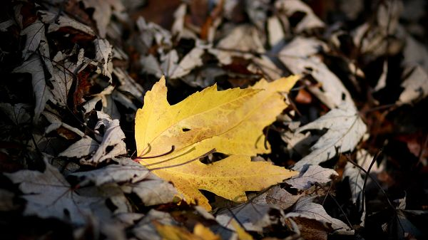 click to free download the wallpaper--Beautiful Scenery of Leaves - A Newly Fallen Leaf is Around Gray and Dry Leaves, It Grabs Attention