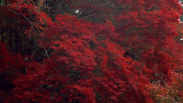 Beautiful Scenes of Nature - Red Leaves on Prosperous Trees, They Are Impressive in Look