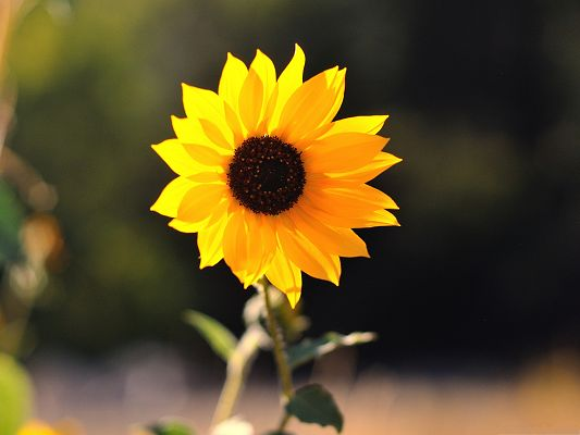 click to free download the wallpaper--Beautiful Sunflowers Image, Little Blooming Sunflower, Happy Smile