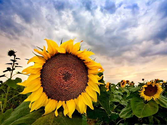 click to free download the wallpaper--Beautiful Sunflowers Picture, Blooming Flower and Ripe Seeds, Incredible Scene