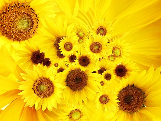 click to free download the wallpaper--Beautiful Sunflowers Picture, Yellow Sunflowers Piled Up, Nice in Look