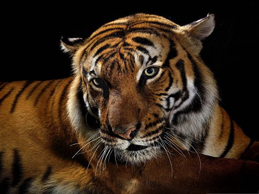 click to free download the wallpaper--Beautiful Tiger Images, Attentive Tiger, Nice Fur, It is Shy