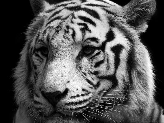 click to free download the wallpaper--Beautiful Tiger in Peace, Black and White Style, Comfortable Look