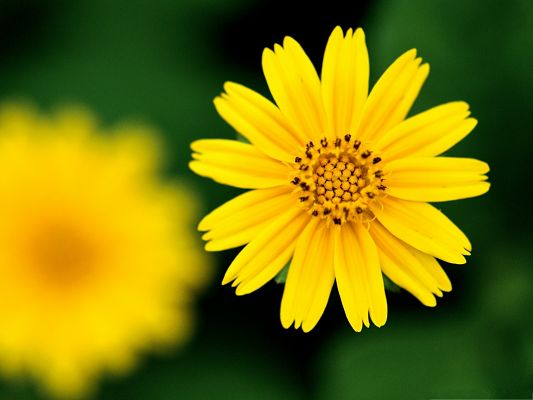 Beautiful Yellow Flowers, Little Flower in Full Bloom, Put Against Green Background