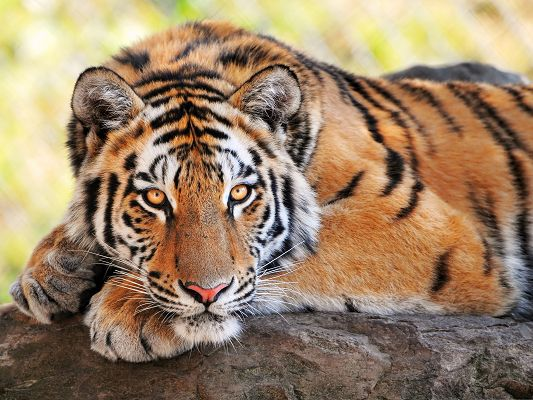 click to free download the wallpaper--Beautiful Young Tiger, Lying on Stone, It is Peaceful and Comfortable